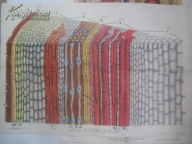 图片 70-80年代生物教学彩色挂图4张 木本茎的