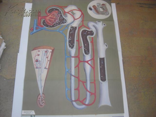 图片 70-80年代生物教学彩色挂图4张 蛋白质合