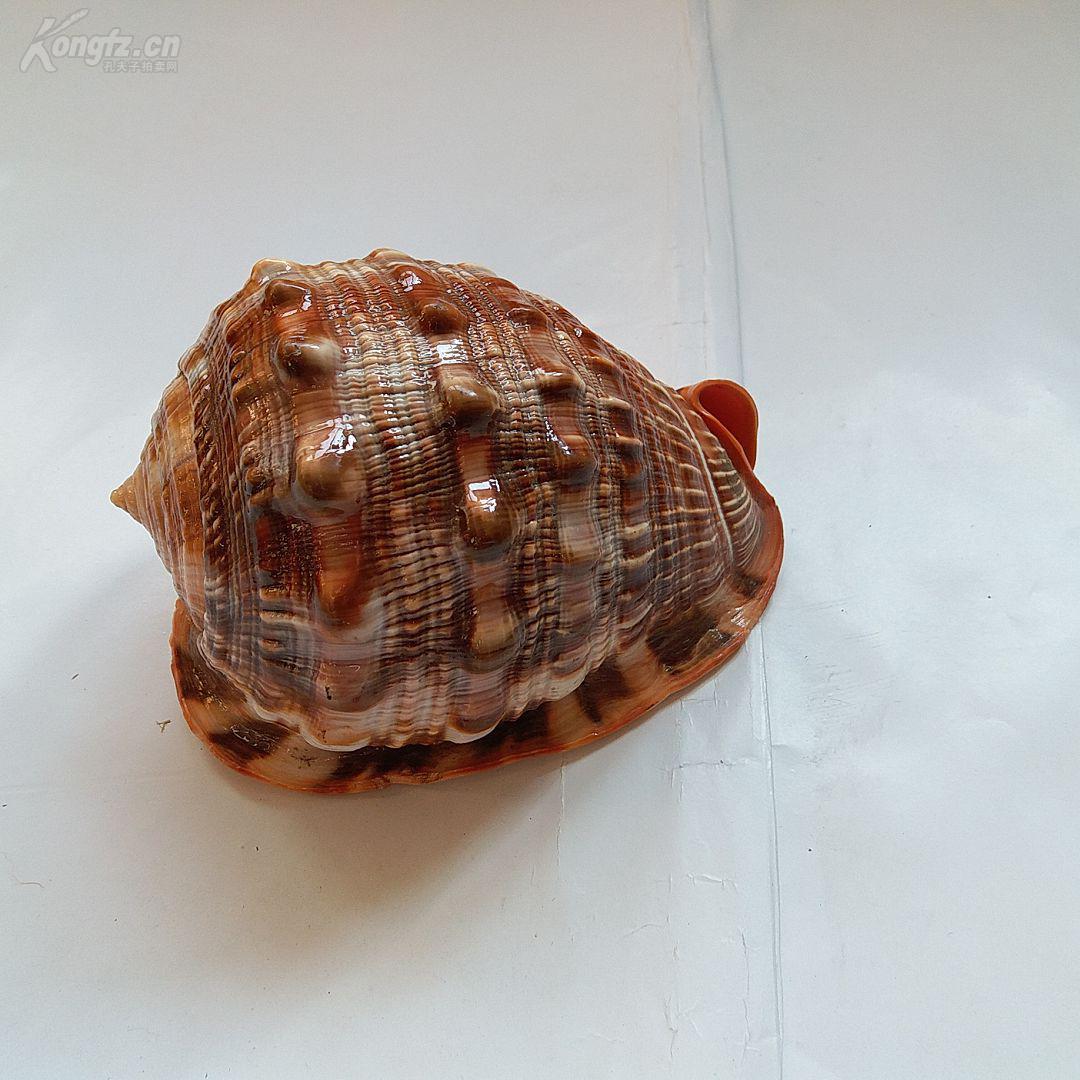 天然原生 海螺 (靠近耳朵,可以听到海的声音)品好 15*10*10厘米 现低